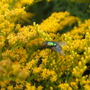 bluebottle fly on yellow flowers