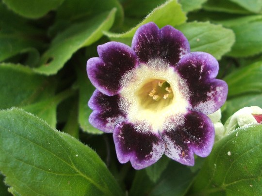 auricula in flower, from my nanna