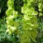 lime green gladioli