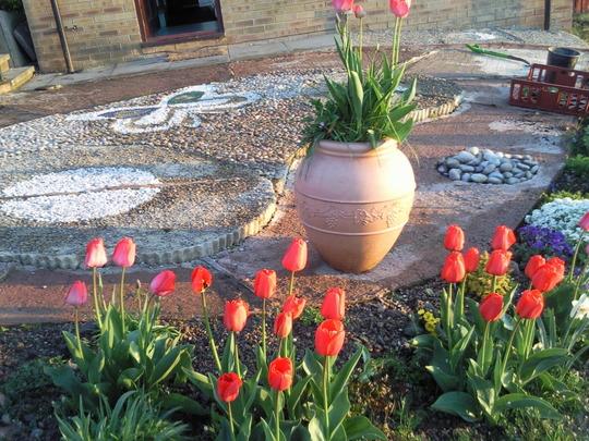 front garden,tulip