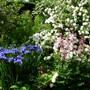 Irises Viburnum and Dictamus