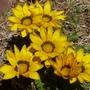 Yellow Gazania (Gazania heterochaeta)