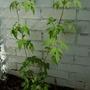 clematis alpina april 2009 (Clematis alpina (Pamela Jackman))