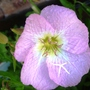 Pink Sundrops