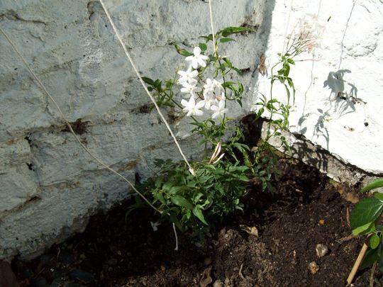 jasmine april 2009 (Jasminum polyanthum (Jasmine))