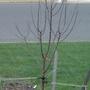 Paperbark Maple (Acer griseum (Paper-bark maple))