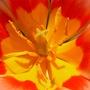 Tulpeninneres_web
