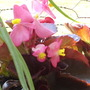Begonias_very_close_up_03_07_06
