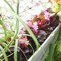Begonias_08_07_06_white_planter_