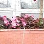 Begonias_in_brown_planter_08_07_06