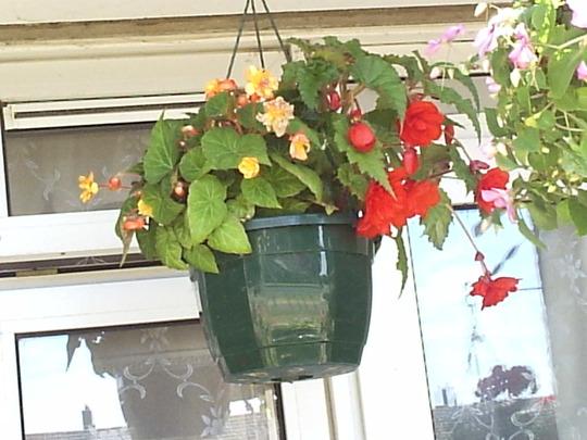 Begonias_in_hanging_basket__1__17-07-06.jpg