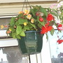 Begonias_in_hanging_basket_1_17_07_06
