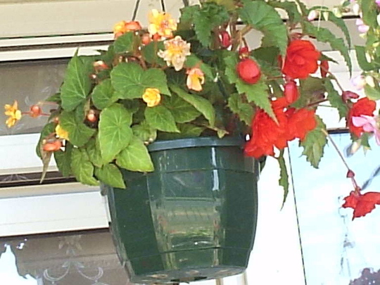 Begonias_in_hanging_basket__Close_up__17-07-06.jpg