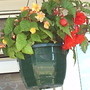 Begonias_in_hanging_basket_close_up_17_07_06