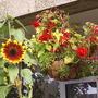 Hanging_Begonias___Sunflower_08-09-05.jpg