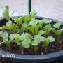 Our_garden_in_2009_095