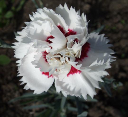 Dianthus (Dianthus)
