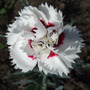 Dianthus (Dianthus)
