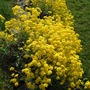 A bank of yellow! (Alyssum saxatilis)
