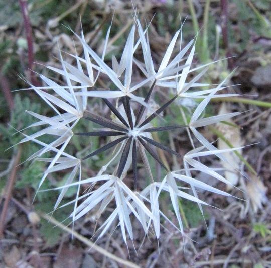 Desert Dandelion Seedhead  (Malacothrix glabrata)