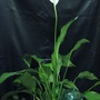 Peace_lily_007