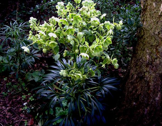 Not Canabis after all then - thank goodness! (Helleborus dumetorum)