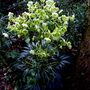 Not Canabis after all then - thank goodness! (Helleborus dumetorum)