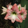 Hippeastrum Apple Blossom (Hippeastrum)