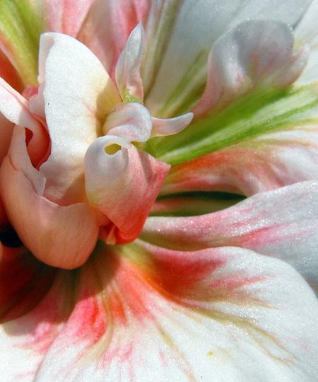 """Opening Geranium Flower"""" Salmon Princess"""""""