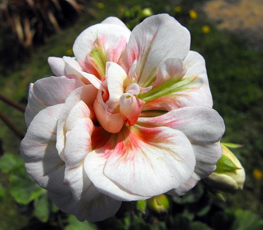 Geranium Salmon Princess Flower