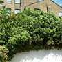 ivy april 2009 (Hedera helix (English ivy))
