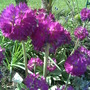Primuladenticulata_____drumstick_08.jpg