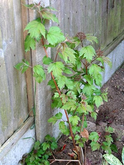 Onondaga (Viburnum sargentii)