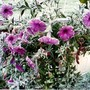 Petunias after Frost