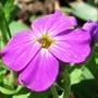 Aubretia flower