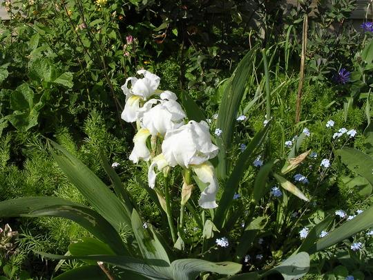 Almost white iris (Iris pallida dalmatica)