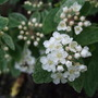 Spiraea