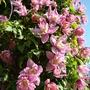 Clematis Markham's Pink