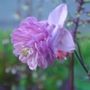Pink Aquilegia (Aquilegia vulgaris)