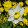 Narcissus 'Alnwick Garden'