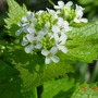 Alliaria_petiolata_garlic_mustard_flower_detail