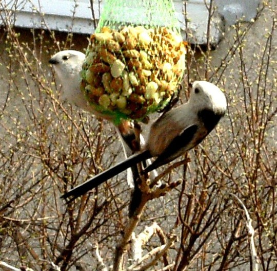 Long tailed tits on peanut feeder
