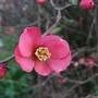 Flowering qince