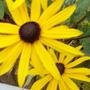 rudbeckia...goldsturm