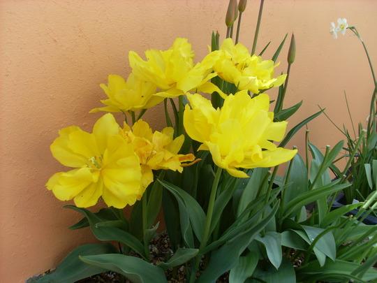 tulipa monte carlo