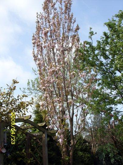 "Column Cherry Tree,""Amanogawa"""