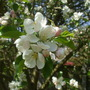 Apple blossom from the big apple tree