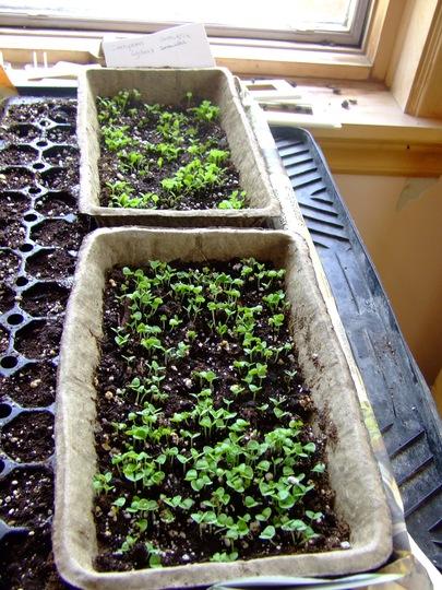 Sweet Basil seedlings (foreground) (Ocimum basilicum (Sweet Basil))