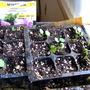 Lavatera seedlings (Lavatera Silvercup)