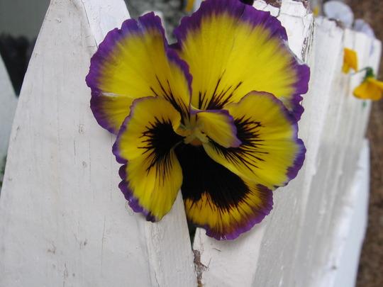 waiting to be planted (viola odorata, viola tricolor, viola cornuta)